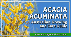 Acacia Acuminata Australian Growing and Care Guide