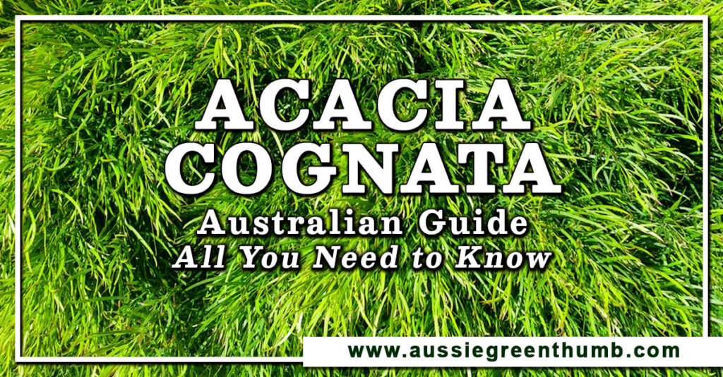 Acacia Cognata Australian Guide All You Need to Know