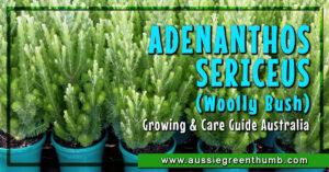 Adenanthos Sericeus Guide Australia
