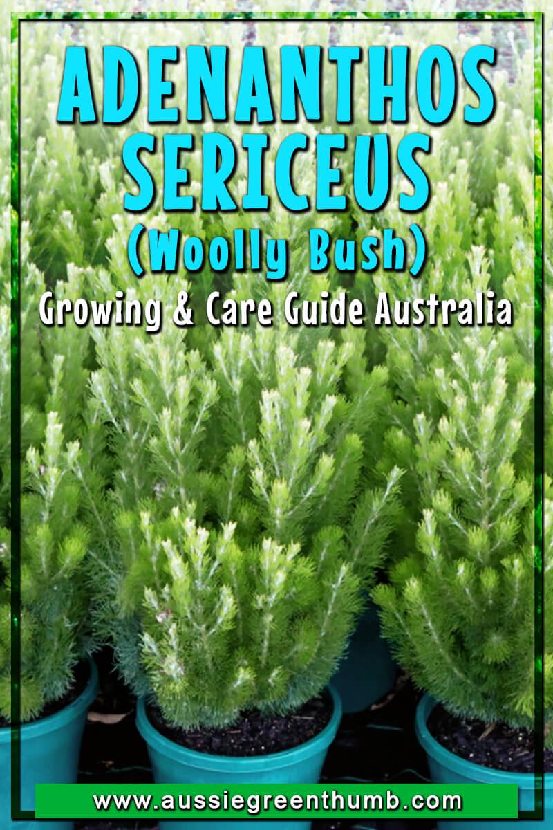 Adenanthos Sericeus (Woolly Bush) Growing and Care Guide Australia