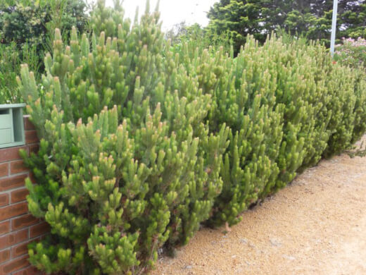 Adenanthos Sericeus is a native Australian plant and a beautiful addition to any garden