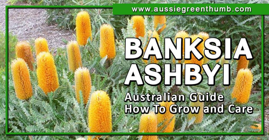 Banksia Ashbyi Australian Guide How To Grow and Care