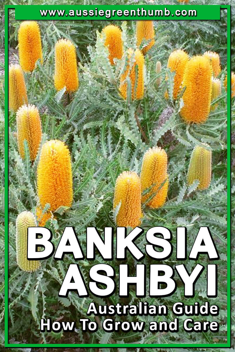 Banksia Ashbyi Australian Guide How To Grow and Care