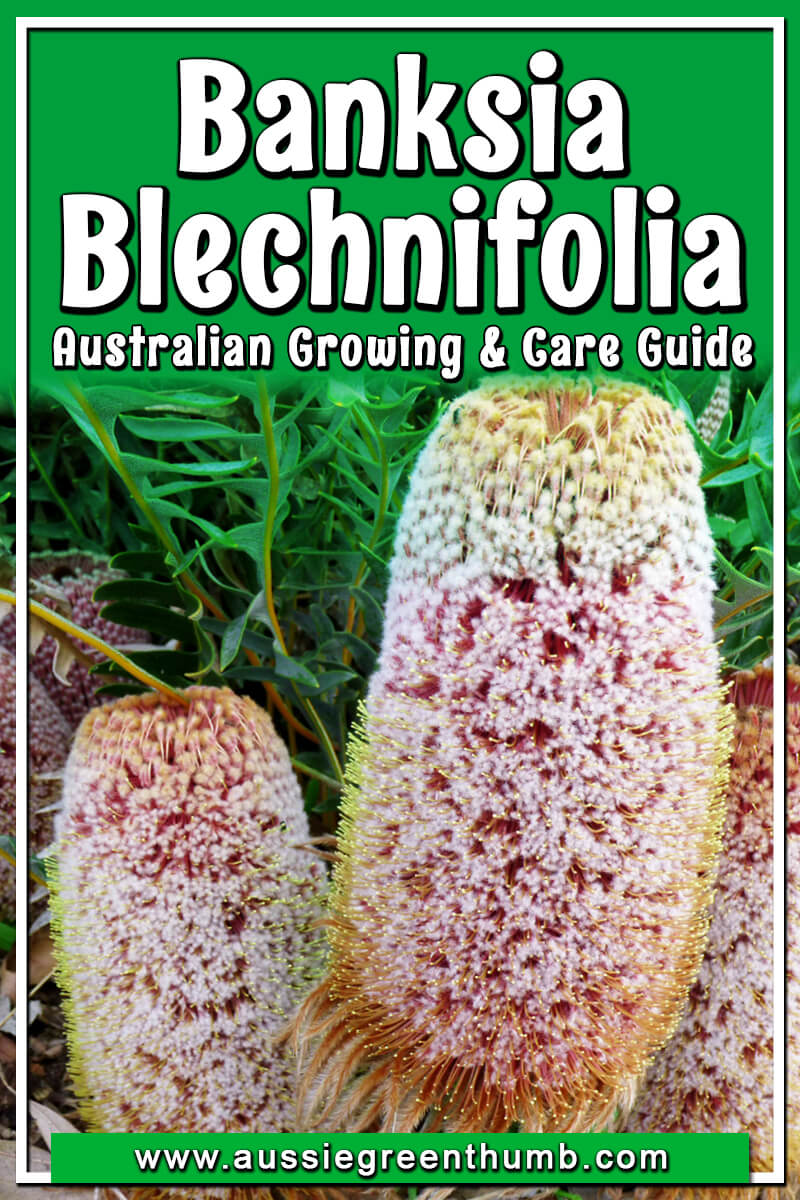 Banksia Blechnifolia Australian Growing and Care Guide