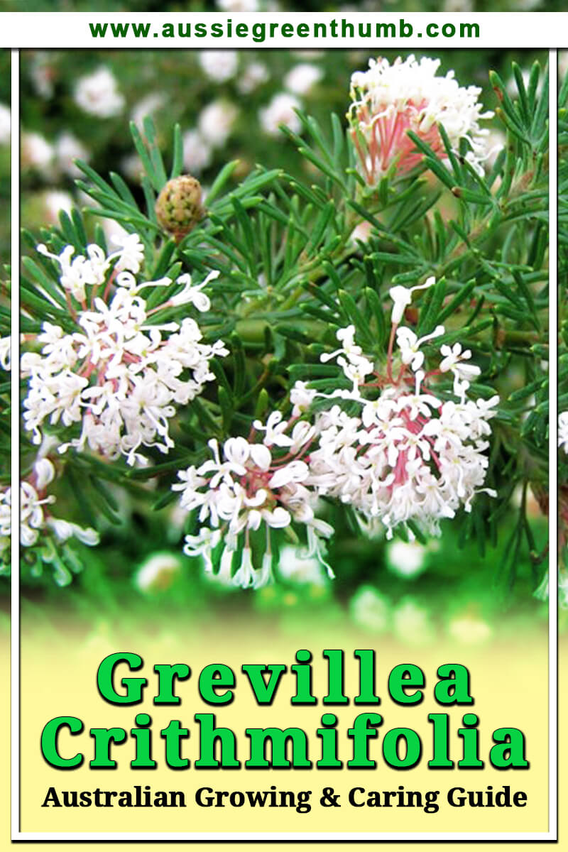 Grevillea Crithmifolia Australian Growing and Caring Guide