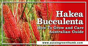 Hakea Bucculenta Australian Guide