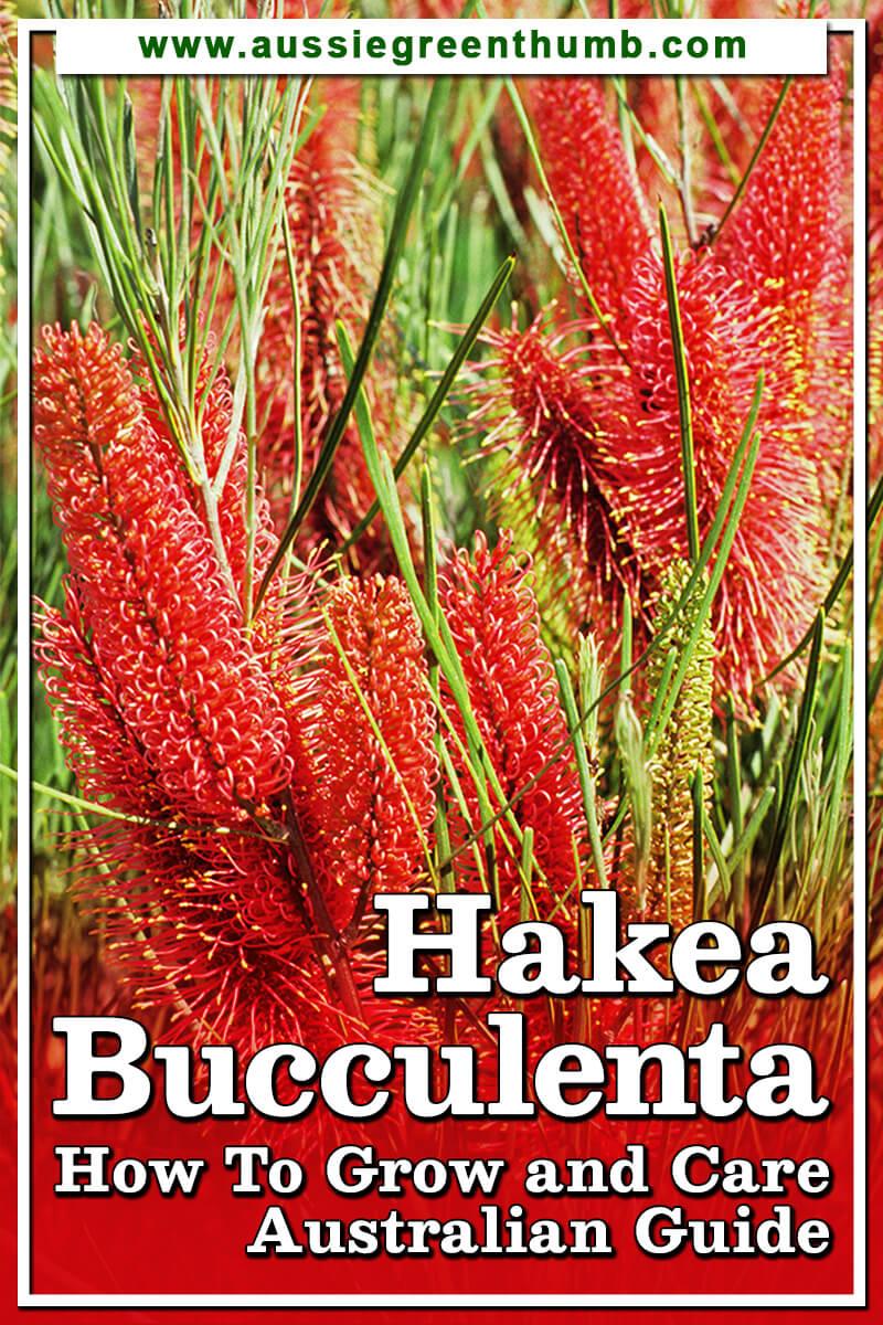 Hakea Bucculenta How To Grow and Care Australian Guide