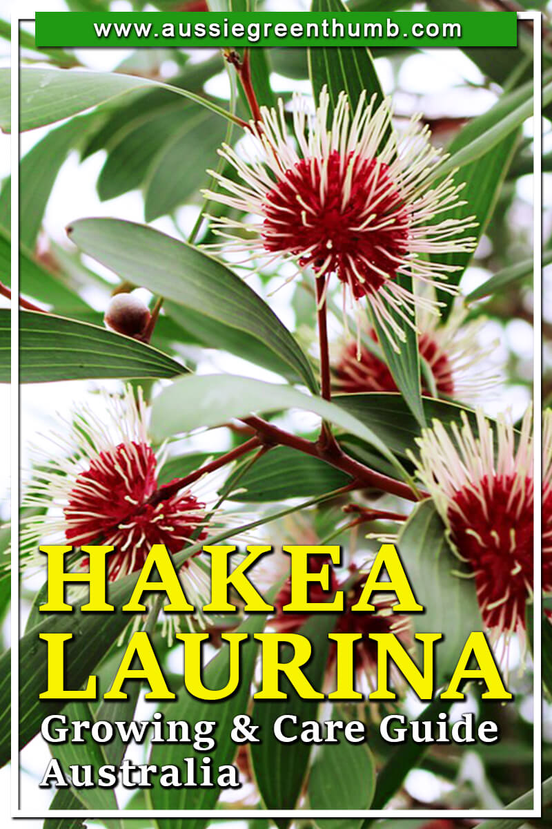 Hakea Laurina Growing & Care Guide Australia