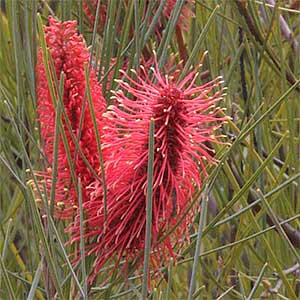 Hakea bucculenta is quite a showy plant, mostly due to its roughyl 15cm long orangered flower spikes