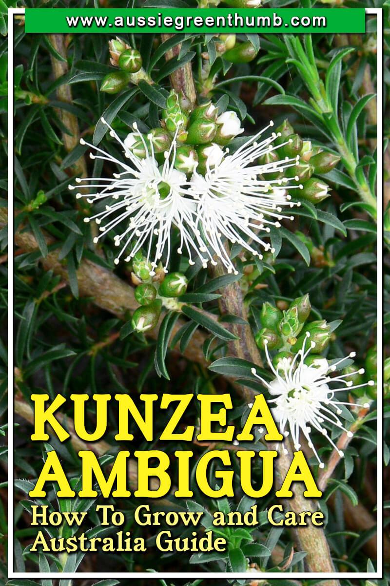 Kunzea Ambigua How To Grow and Care Australia Guide