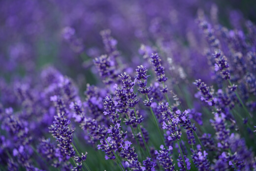 Lavender deter mosquitoes