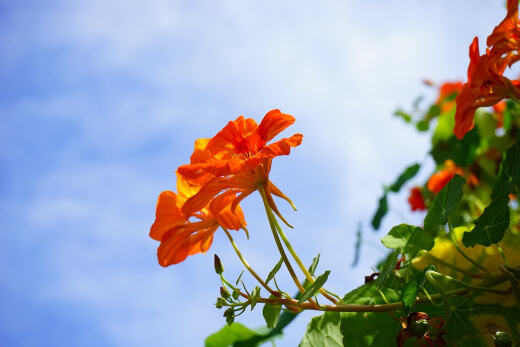 Nasturtium plants are very strong self-seeders