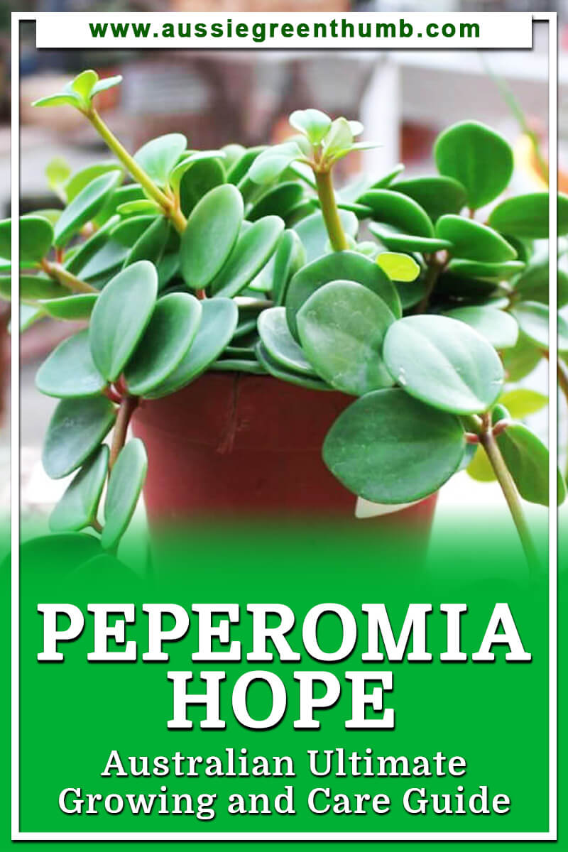 Peperomia Hope Australian Ultimate Growing and Care Guide