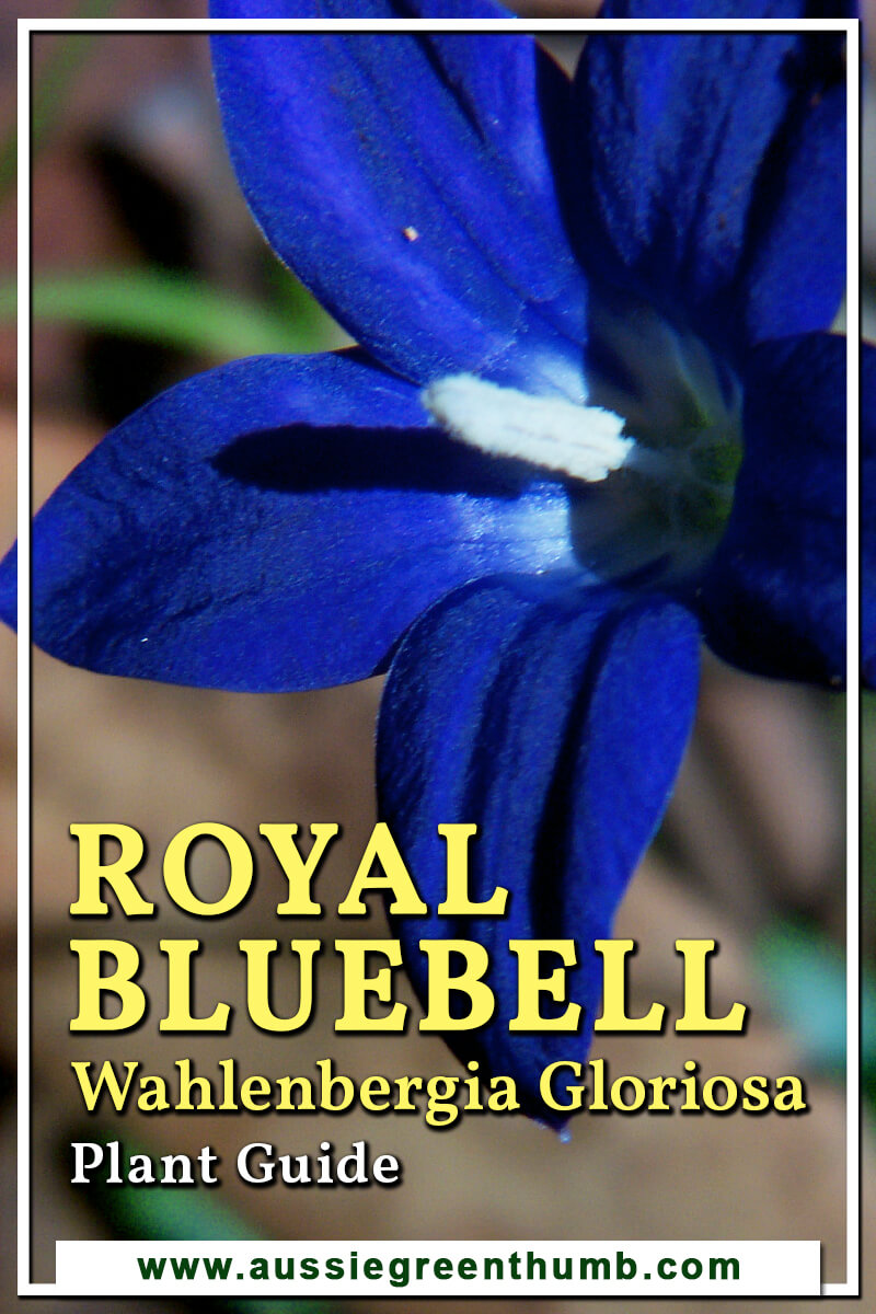 Royal Bluebell Wahlenbergia Gloriosa Plant Guide