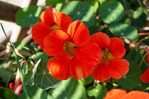 What are Nasturtiums
