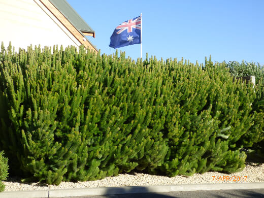 What is the Albany Woolly Bush