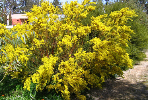 acacia acinacea is a native Australian shrub which is endemic to the South Eastern parts of Australia