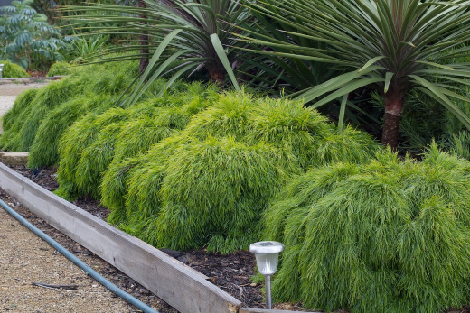 acacia cognata prefer to grow in full sun to part shade and they all prefer a well drained soil