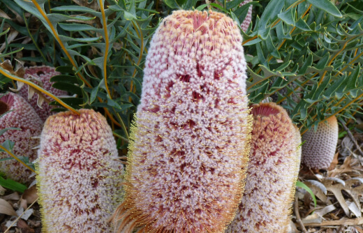 banksia blechnifolia is indigenous to Western Australia however has been successfully grown all around Australia