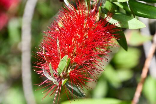 Crimson bottlebrush or lemon bottlebrush, is a native to the East Coast of Australia
