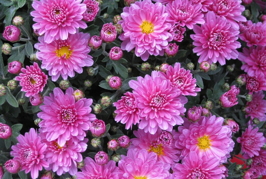 chrysanthemum are very popular because they flower right around Mothers day, making them a great flower to give to your mum on that special day