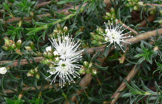 kunzea ambigua is known as a very hardy variety of Australian native plant