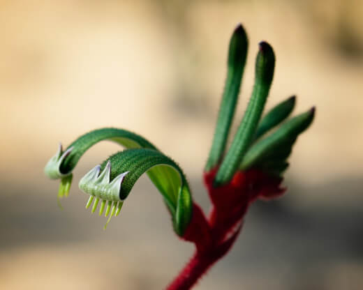 How to Grow a Kangaroo Paw Plant