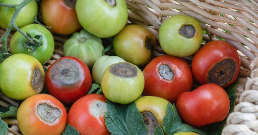 How to Prevent and Treat Tomato Rot