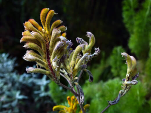 How to Propagate a Kangaroo Paw Plant