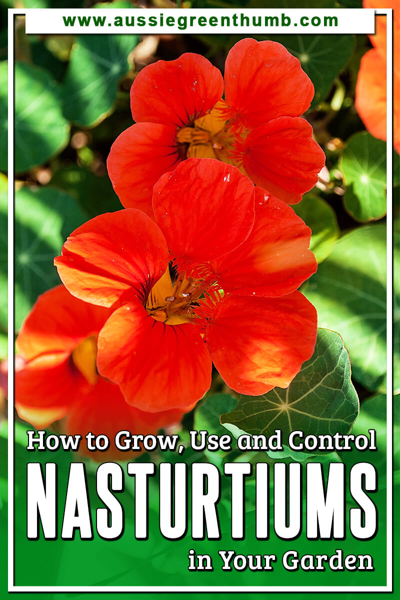Nasturtiums in Your Garden How to Grow, Use and Control