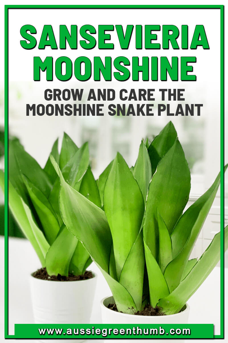 Sansevieria Moonshine Grow and Care the Moonshine Snake Plant
