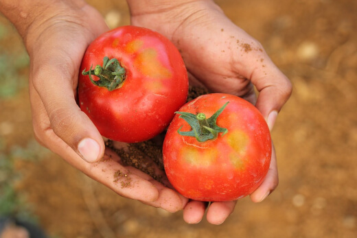 Supporting your plants with calcium throughout their cycle is the best way to keep tomato rot away