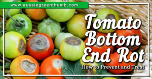 Tomato Rot How to Prevent and Treat