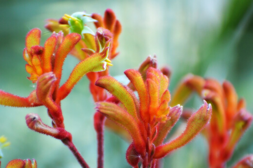 What are the Best Kangaroo Paw Plant Varieties