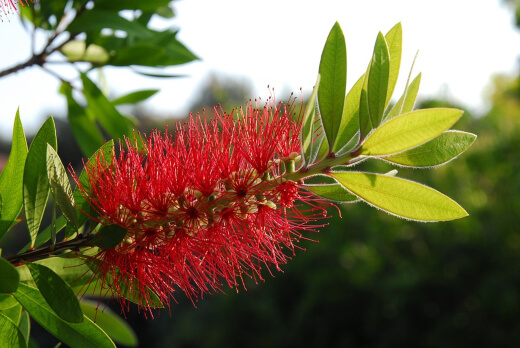 how to prune a bottlebrush