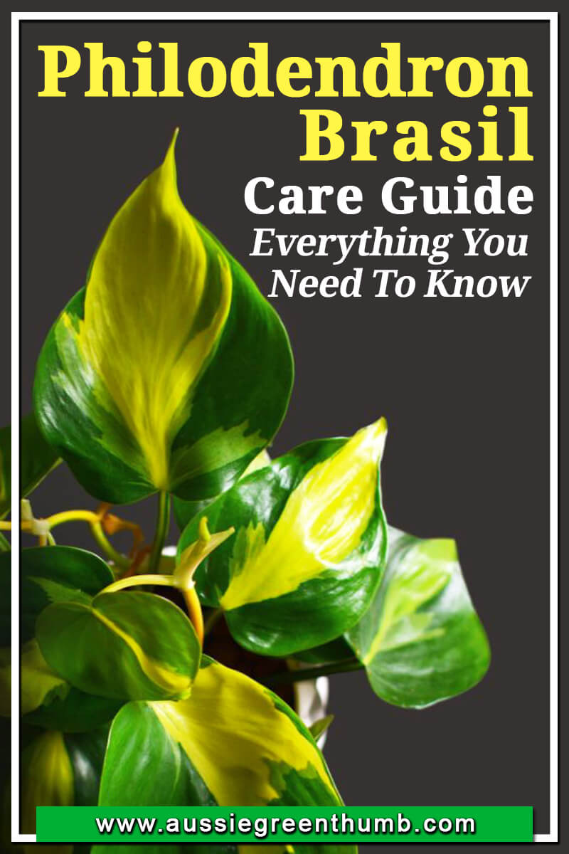 Philodendron Brasil Care Guide Everything You Need To Know