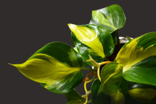 Philodendron Brasil is one of about 450 different species of Philodendron plants
