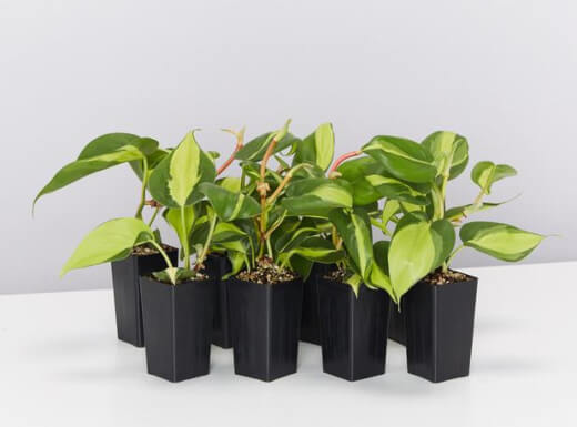 Philodendron hederaceum is a gorgeous and low-maintenance plant that is easy to grow indoors