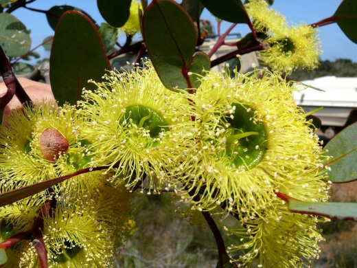 Preissiana tree is known more commonly as the bell-fruited mallee tree