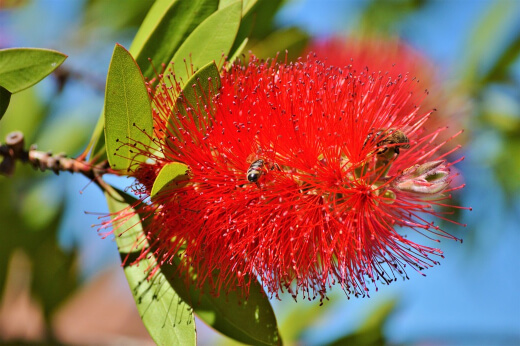 Callistemon Citrinus is known as the king of the bottlebrush family
