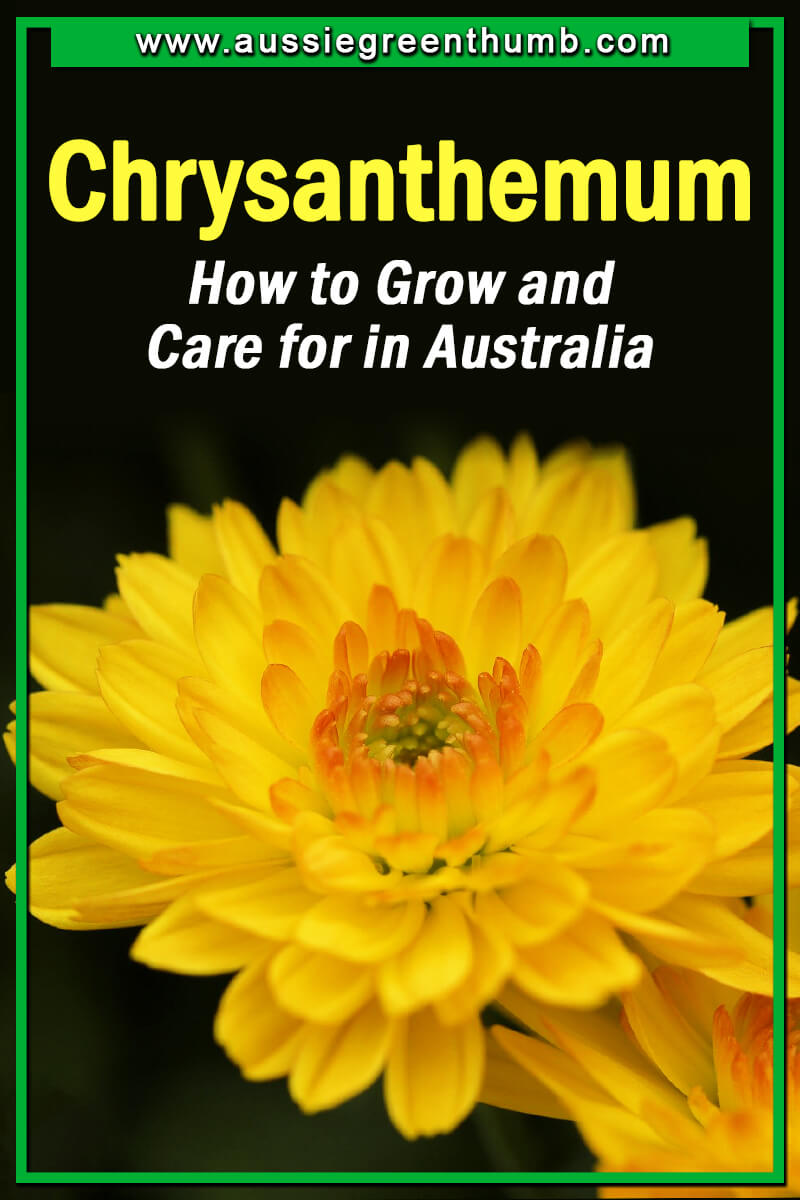 Chrysanthemum How to Grow and Care for in Australia