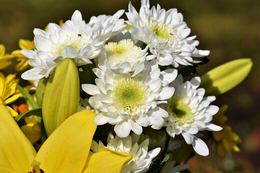 Chrysanthemums are hardy to semi-hardy perennials that are part of the Compositae family.