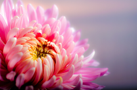 Chrysanthemums grow in almost any climate