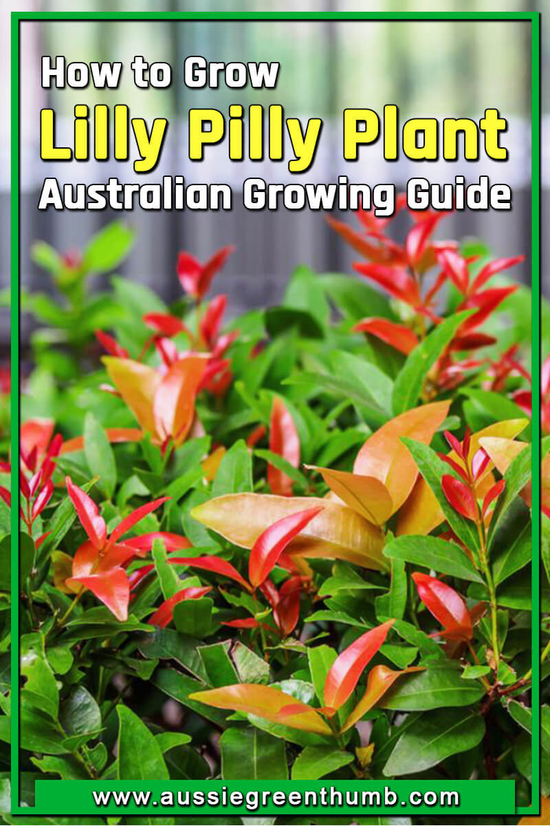How to Grow Lilly Pilly Plant Australian Growing Guide