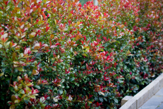 How to Grow Lilly Pilly