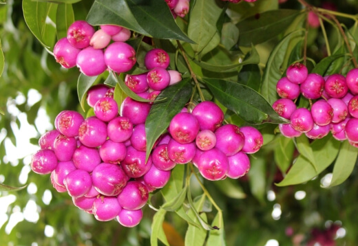 the fruits of the Lilly Pilly have quite a few health benefits
