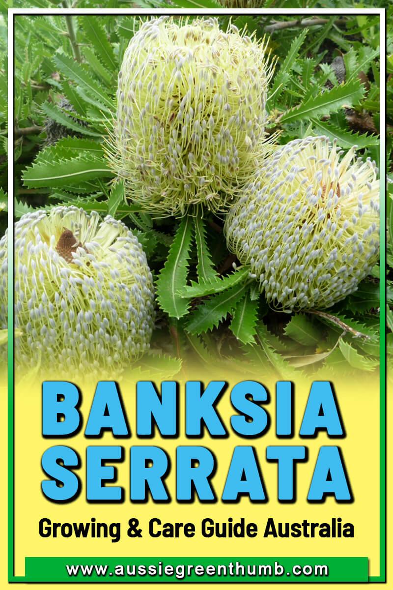 Banksia Serrata Growing and Care Guide Australia