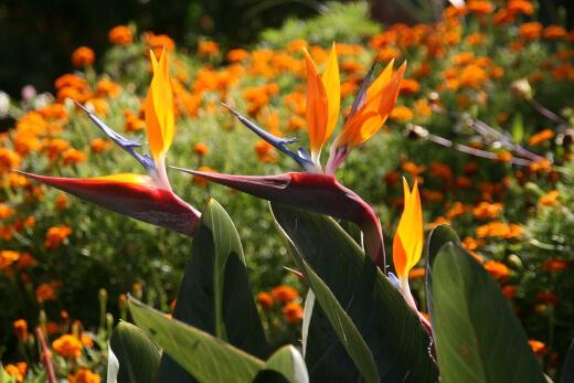 Birds of paradise plants flower