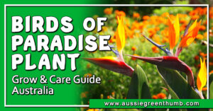 Birds of Paradise Plant Grow and Care Guide Australia
