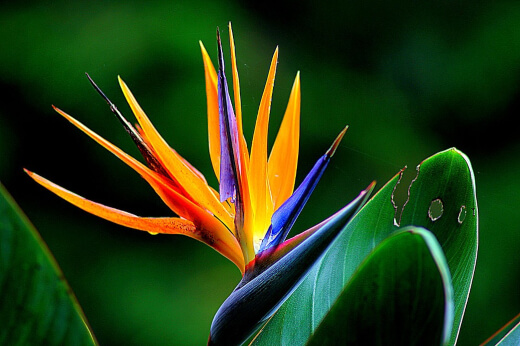 The bird of paradise plant or crane flower is a South African native but has been grown worldwide for its stunning crane-like flowers